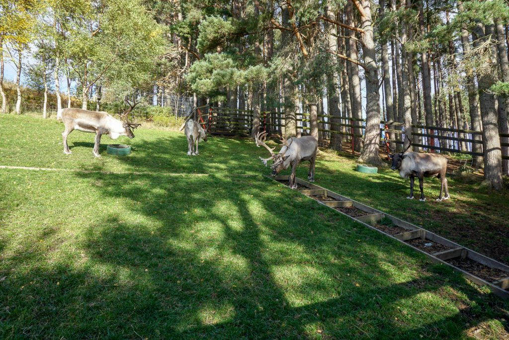 Where to Feed Reindeer in Scotland