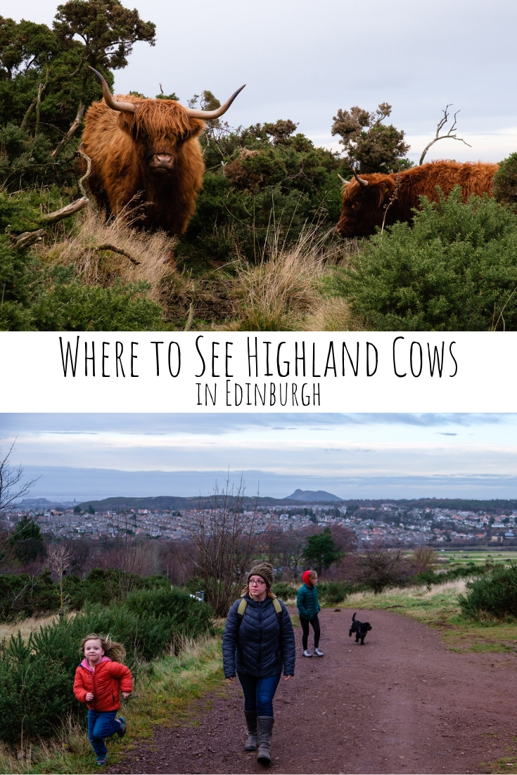 Highland Cows are popular in Scotland but you don't need to go to the Highlands to see them. This is where to see Highland Cows in Edinburgh!
